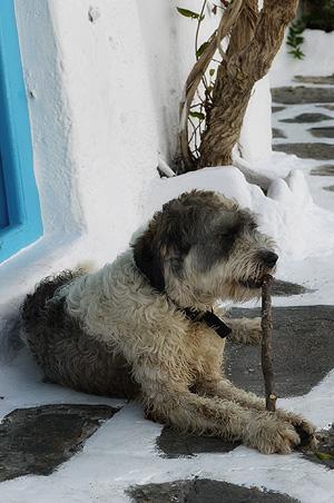 Mykonos_dog